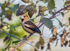 De saison... (Régis B 31) Tags: coccothraustescoccothraustes fringillidés grosbeccassenoyaux hawfinch passériformes ariège bird domainedesoiseaux mazères oiseau explore midipyrénées france