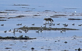 Coyote / Ducks / Boundary Bay - 094A2204a1c