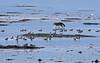 Coyote / Ducks / Boundary Bay - 094A2204a1c (Sue Coastal Observer) Tags: coyote canislatrans northernpintail duck nopi anasacuta boundarybay delta bc britishcolumbia canada