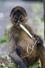 Baby spider monkey eating leek (Tambako the Jaguar) Tags: spidermonkey monkey ape primate baby young cute sitting eating leek vegetable portrait looking food basel zoo switzlerland nikon d5