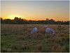 two years later... (lada/photo) Tags: pasture animals ladaphoto sunset fl ftmyersfl