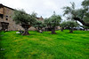 Castello di Amorosa trees, California (` Toshio ') Tags: toshio napa napavalley california castellodiamorosa winery goat sheep animals trees castle wine architecture fujixe2 xe2