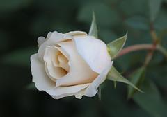 Nevena Uzurov - Autumn rose (Nevena Uzurov) Tags: rose floral white romantic love petals leaves bokeh garden autumn nevenauzurov serbia nature