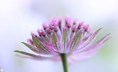 Mysterious stranger (Trayc99) Tags: astrantia flower delicate pink floral floralart flowerphotography beautyinmacro beautiful beautyinnature macro magical masterwort