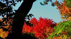 Glorious Autumn magic (peggyhr) Tags: peggyhr autumn silhouettes trees colours red green gold blue orange dsc09404b ubc vancouver bc canada carolinasfarmfriends