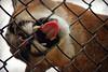 Russet and Yukon (MTSOfan) Tags: russet cougar cub epz bigcat mountainlion puma panther pantamount rescue fence frustration tongue