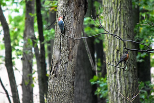 Red Bellied Woodpecker and American Robin