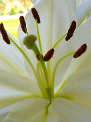 Lily Green, Lily Brown and Lily White (Steve Taylor (Photography)) Tags: brown green white newzealand nz southisland canterbury christchurch northnewbrighton flower lily highkey lilium