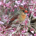 Cardinal and Cherry Blossoms thumbnail