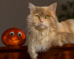 Goodbye photo with pumpkin (FocusPocus Photography) Tags: linus katze kater cat chat gato tier animal haustier pet kürbis pumpkin