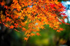 Autumn Leaves Above (moaan) Tags: kobe hyogo japan jp maple mapleleaves japanesemaple momiji autumn fall autumncolors autumnleaves fallcolors fragility dof depthoffield bokeh bokehphotography nature naturephotography leica mp leicamp type240 noctilux 50mm f10 leicanoctilux50mmf10