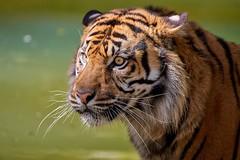 je lui ferais bien un gros calin (rondoudou87) Tags: tigre tiger tigré pentax k1 smcpda300mmf40edifsdm sauvage wildlife wild wildcat eyes yeux regard look bokeh parc zoo reynou nature natur moustache animal animaux portrait