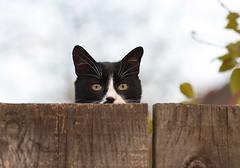 Nevena Uzurov - Observer (Nevena Uzurov) Tags: cat pet animal domestic fence wooden texture look peek nevenauzurov serbia