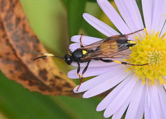 Ichneumon (John_E1) Tags: ichneumon wasp insect macro closeup animal flower essex wakering