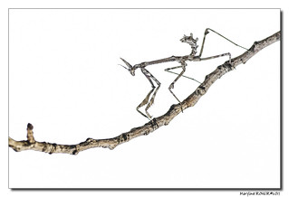 Empuse commune - Empusa pennata - Diablotin de Provence