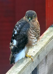 Sparrowhawk (gillybooze (David)) Tags: ©allrightsreserved bird sparrowhawk birdwatcher hawk feathers outside fence