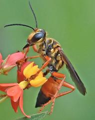 Great Golden Digger Wasp (Vidterry) Tags: wasp wespe greatgoldendiggerwasp