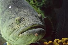 Friendly Monster (Bad Alley (Cat)) Tags: fish aquarium ripleysaquarium underwater