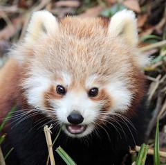 red panda Blijdorp BB2A5705 (j.a.kok) Tags: panda redpanda rodepanda animal blijdorp asia azie china mammal zoogdier dier kleinepanda