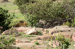 Male lion (conninii) Tags: masai mara maasai wildlife kenya africa kenia animals animal park safari lion lions leones leon