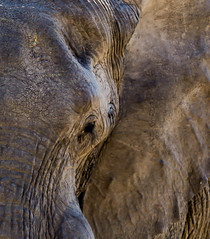 180A6451.jpg (donnatopham) Tags: botswana savute elephants