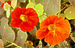 Still blooming after all this time (Jan 130) Tags: nasturtiums flowers photopainting topazstudio picmonkey paulsimon jan130 coth5 ngc npc