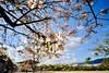 Autumn_colors? (gnsk) Tags: xe1 fuji fujifilm flower sakura prunus cerasoides uwh voigtlander ultra wideheliar f56 ヒマラヤザクラ 桜 japan landscape フォクトレンダー m 12mm