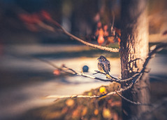 On a tree (RoCafe Off for a while) Tags: bird sparrow animal tree nature beautiful park light sunlight shadows autumn blur bokeh selectivefocus retiro madrid lensbaby sweet50 nikond600