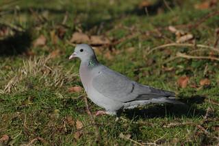 IMGP1382c Stock Dove, RSPB Sandy, December 2017