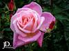 Rose-16 (johndyble) Tags: rose pink flower pinkrose waterdrips waterdrops droplets gardenrose hybridrose rosebuds green summerflower