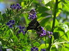 Urbanus proteus (dhobern) Tags: 2017 florida gainesville november usa urbanusproteus hesperiidae pyrginae lepidoptera