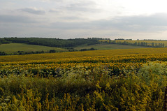 Sunflower field, Ukraine (videodigit16) Tags: grass tree field sky forest landscape sunlight meadow agriculture green earth vivid farmland organic yellow sunny crop circle summer outside farm blossom petals grows countryside pollen flora farming stem corn seed garden growth colorful plant rural outdoors golden background nature food harvest pretty rye cereal sunflowersspica sunflowerfield sunflowergrain