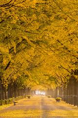 🇰🇷곡교천은행나무길,'South Korea (TaiNg0415) Tags: 曲橋川 nikon d810 韓國 銀杏 korea 路