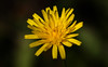 Some October Sunshine (AnyMotion) Tags: bristlyhawkbit steifhaarigerlöwenzahn leontodonhispidus blossom blüte sunshine sonnenschein 2017 floral flowers botanischergarten frankfurt plants anymotion colours colors farben yellow gelb 7d2 canoneos7dmarkii autumn fall herbst automne otoño ngc npc