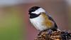 Black Capped Chic-a-Dee (Bob's Digital Eye) Tags: 2017 animal birds bobsdigitaleye canon canonefs55250mmf456isstm chicadee closeup november t3i wildbirds flicker flickr