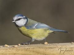 Blue Tit at Nene Park 12/11/17. (johnatkins2008) Tags: bluetits garden birds wildlife photography woodland nenepark johnatkins2008