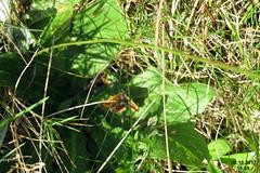 Small copper (WGP) (davidshort) Tags: 2017 smallcopper lycaenaphlaeas coporbach ohniváčekčernokřídlý ohniváčikčiernokrídly czerwończykżarek közönségestüzlepke