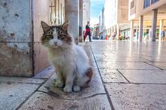 Zadar Wildlife (D Song) Tags: zadar croatia travel europe cat animals stray city urban pets kitty canon dslr blue wildlife cute