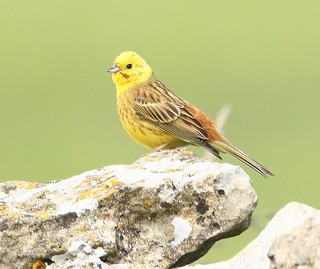 Cock Yellowhammer on stone wall