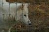 IMG_1314 (goaniwhere) Tags: wolf animal wolves wildanimal sanctuary
