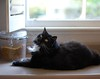 Batman (rootcrop54) Tags: neko macska kedi 猫 kočka kissa γάτα köttur kucing gatto 고양이 kaķis katė katt katze katzen kot кошка mačka gatos maček kitteh chat ネコ barman tuxedo male longhair furry cc100 cc400