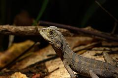 Eastern water dragon (Intellagama lesueurii) (phl_with_a_camera1) Tags: herp herping reptile animal wildlife nature eastern water dragon intellagama lesueurii lizard