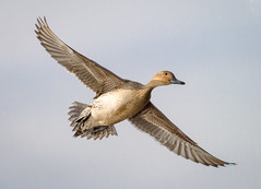 Northern Pintail Hen landing (tresed47) Tags: 2017 201711nov 20171114bombayhookbirds birds bombayhook canon7d content delaware ducks fall folder northernpintail november peterscamera petersphotos places season takenby us