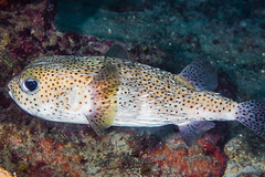 Porcupinefish - Diodon hystrix (zsispeo) Tags: actinopterygii diodon diodontidae osteichthyens teleostei tetraodontiformes hystrix scuba diving tropical reef fish underwater macro macrophotography sea ocean holidays vacation summer beach relaxation coral fauna wildlife wild science taxonomy travel sustainable life aquatic beautiful nature animal biology id identification souvenir living favorite natural rare saltwater turquoise blue conservancy quality escapade tourism wet outdoors porcupinefish tahiti frenchpolynesia