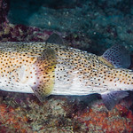 Porcupinefish - Diodon hystrix thumbnail