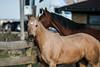 IMG_7275 (Tyler Ochs Photography) Tags: horses horse halter