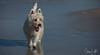 2017 - 11_25 - Animals - Dogs - Sushi_Angus 10 (stevenlazar) Tags: largs beachwater sand northhaven puppy 2017 ocean australia dog water animals adelaide white southaustralia scottishterrier