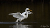 Great White Egret (NikonNigel) Tags: copyright©nigelcox copyrights