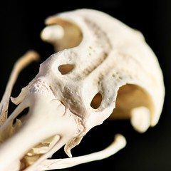 Inner Strength (dianne_stankiewicz) Tags: bird stonerhymingzone hmm macromondays bone skull