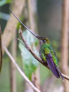 Ensifera ensifera / Sword-billed Hummingbird / Colibrí Picoespada